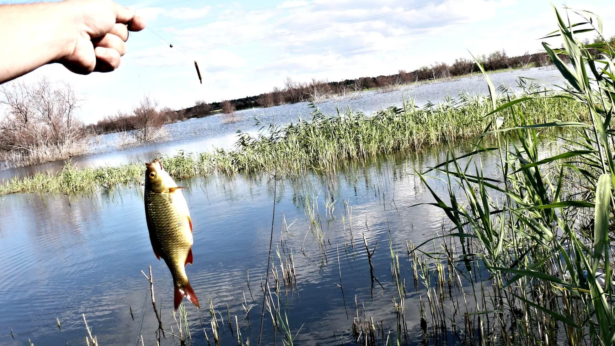 Когда начинает клевать карась весной после зимы на удочку, как его ловить в пруду и реке