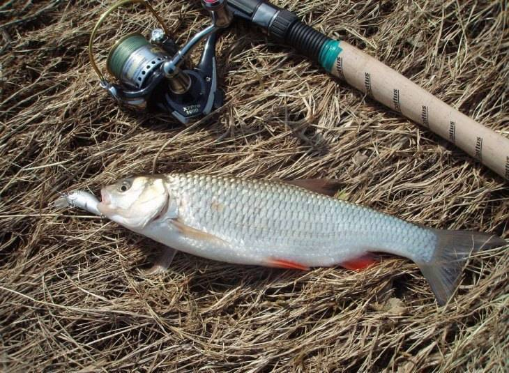 Рыбалка на голавля, ловля на спиннинг - приманки, места и способы