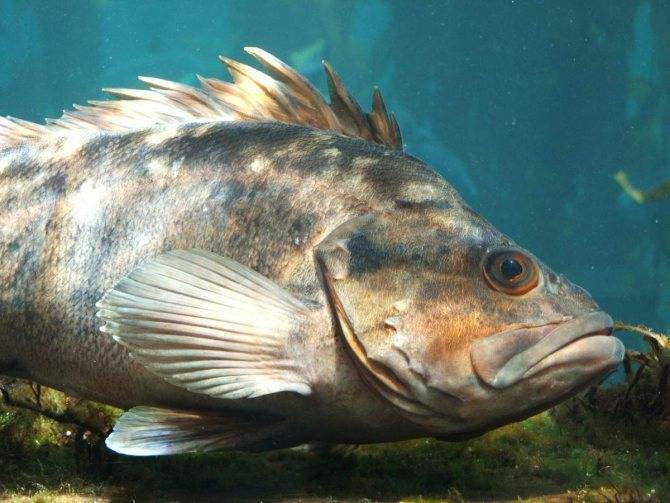 Окунь — описание речной и морской рыбы
