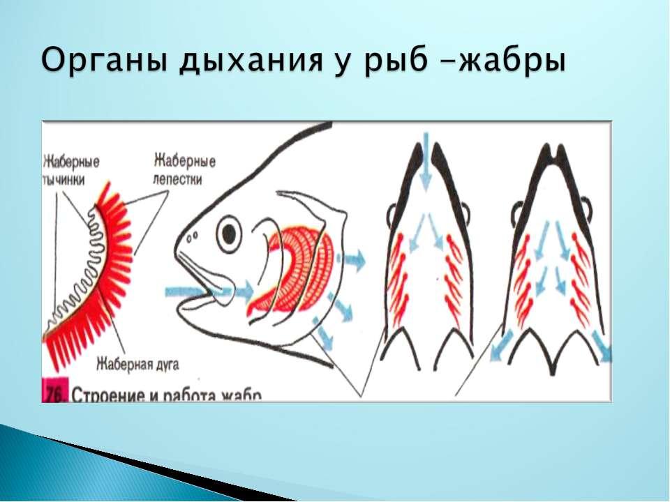 """Конспект по биологии на тему """"органы дыхания рыб"""""""