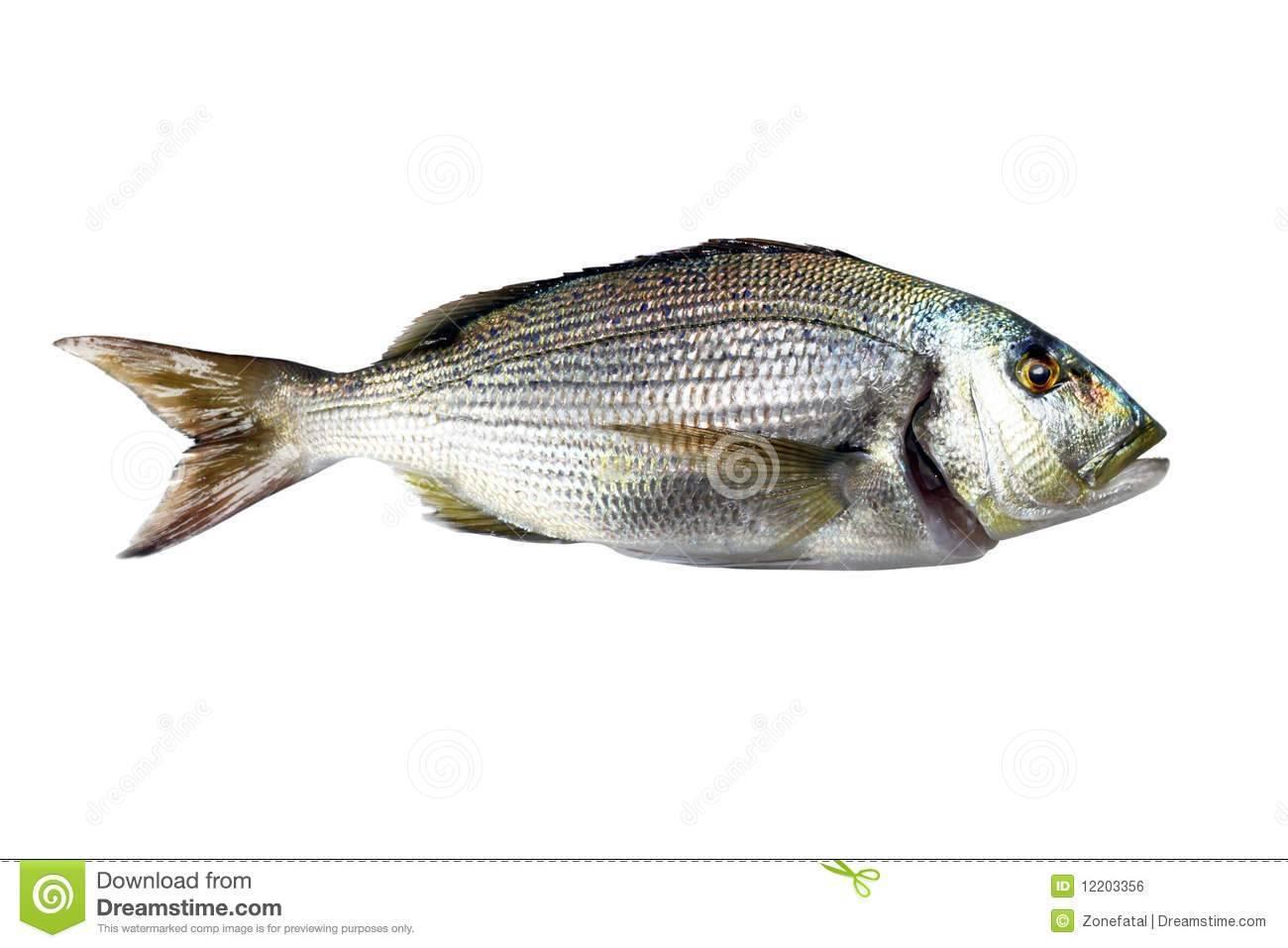 Зубатка рыба. образ жизни и среда обитания зубатки