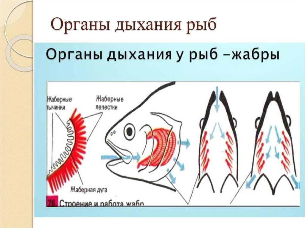 Дыхание рыб. как работают жабры? | чем дышат рыбы?