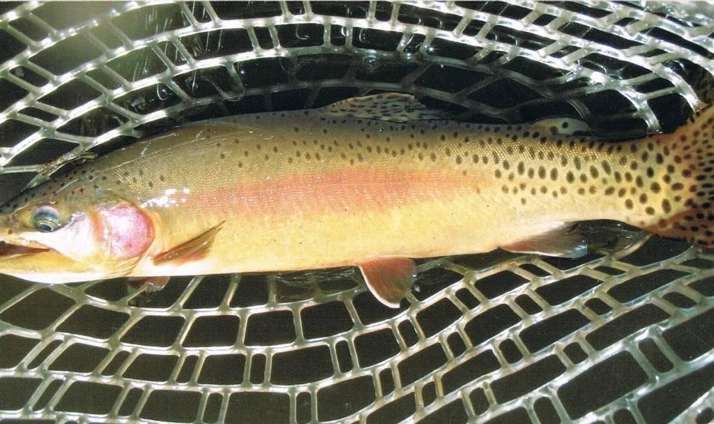 Виды форели, описание рыбы форель, среда обитания и повадки
