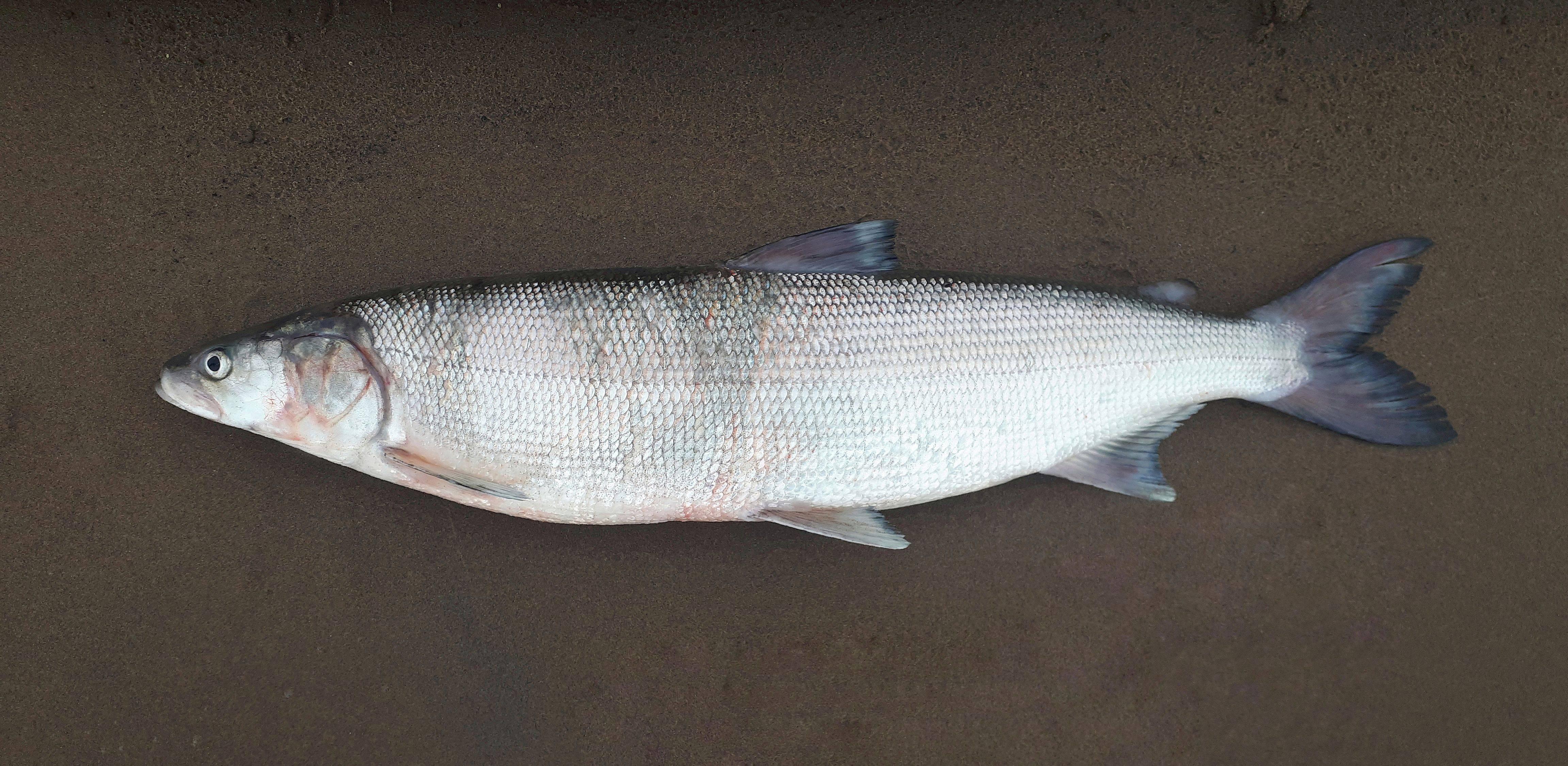 Особенности рыбы сиг, ее фото и кулинарные рецепты
