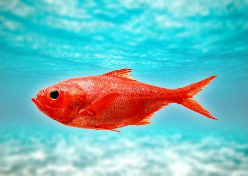 Морской окунь: польза и возможный вред | food and health