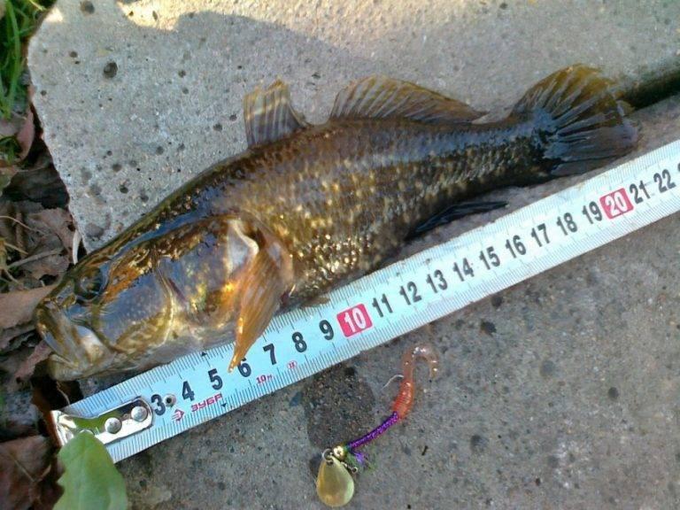 Рыба «Ротан» фото и описание