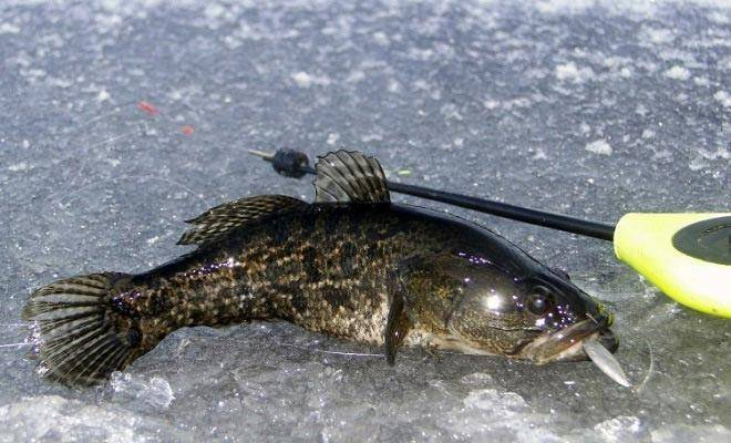 Ловля ротана весной: где искать, особенности рыбалки, на что ловить