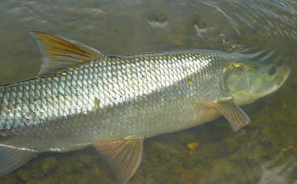 Рыба «Язь амурский» фото и описание