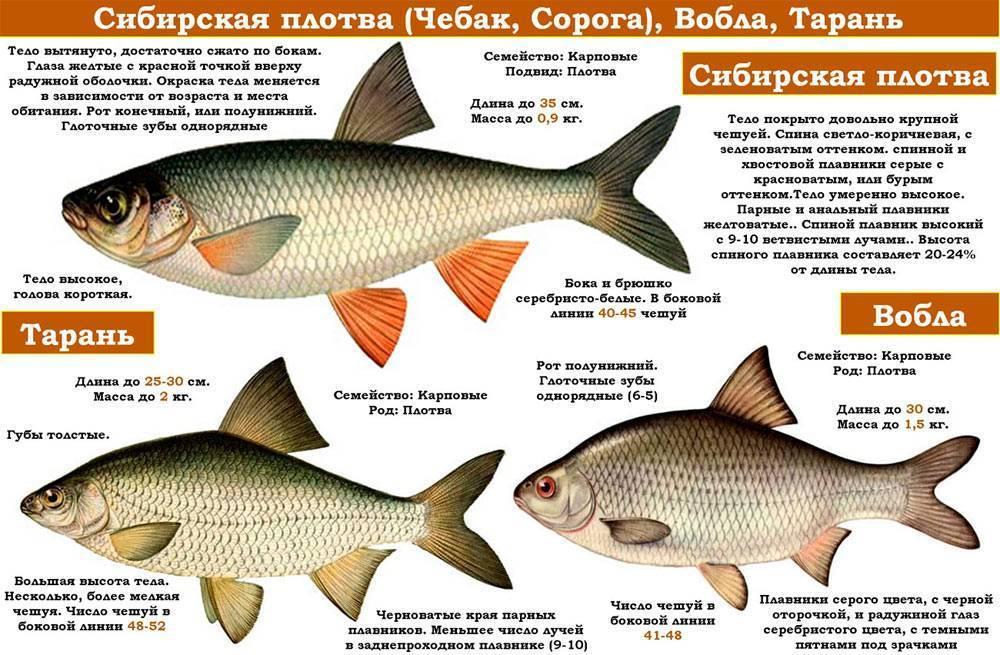 Рыба «Чебак» фото и описание