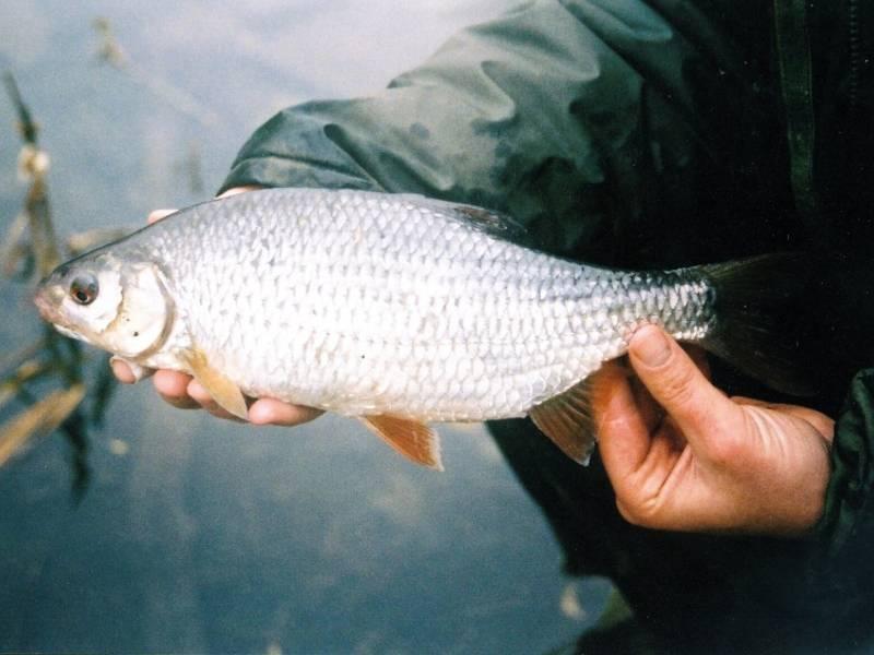 Ловля тарани в июне - читайте на сatcher.fish