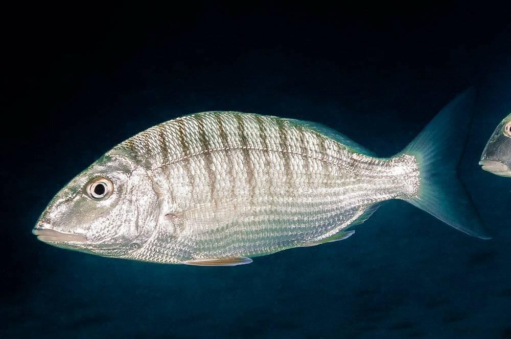 Рыбы средиземного моря - опасные и не очень обитатели вод | вся планета