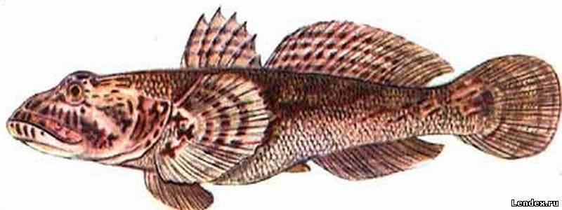 Бычок рыба фото морской