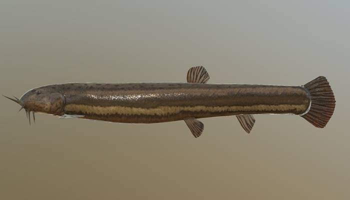 Описание и поведение рыб семейства вьюновых