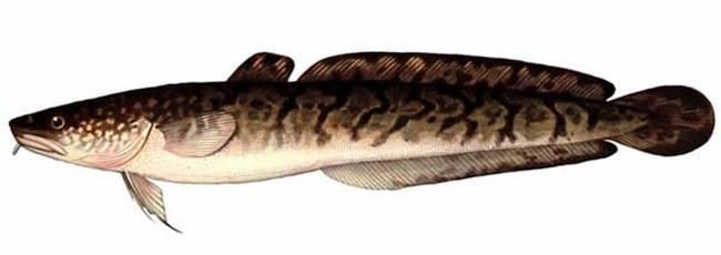 Рыба «Налим» фото и описание