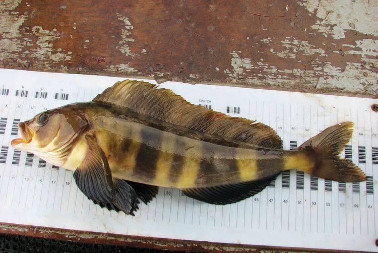 Терпуг рыба. описание, особенности, образ жизни и среда обитания хищницы | животный мир