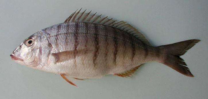 Рыба мерланг: фото, описание, среда обитания, полезные свойства, как готовить