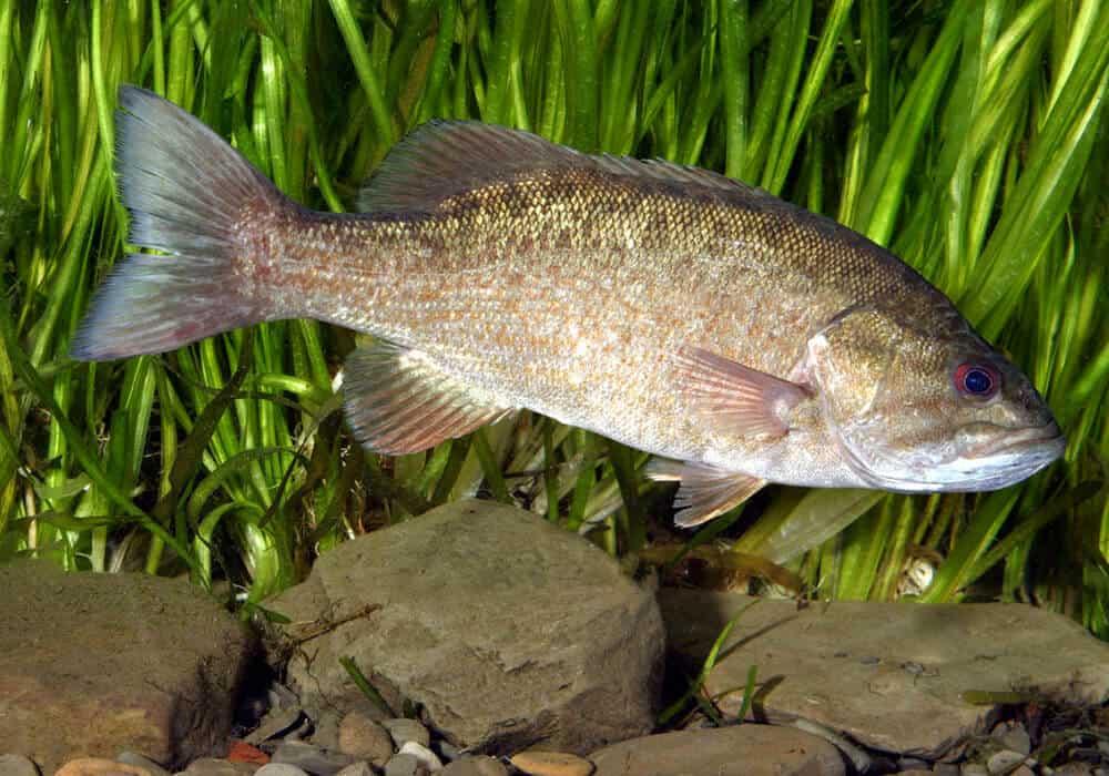 Малоротый окунь - smallmouth bass - qaz.wiki