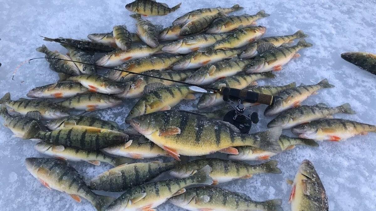 Рыба хариус: где водится, чем питается, как и когда нерестится хариус