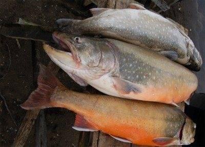 Голец: что за рыба, описание, польза и вред, где водится