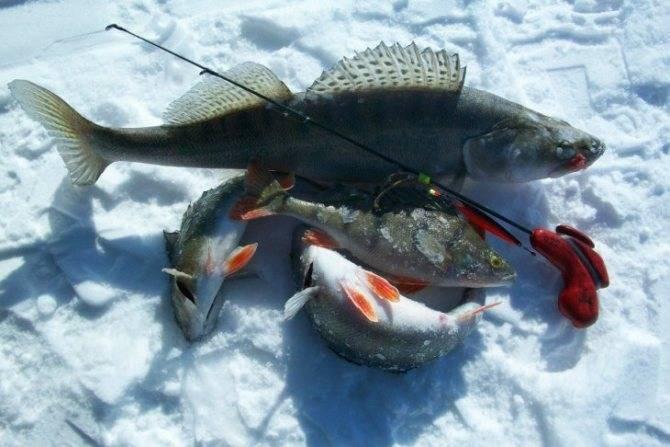 Ловля окуня на балансир. зимняя рыбалка на окуня