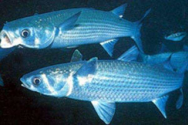 Рыба морской кот — описание и характеристики