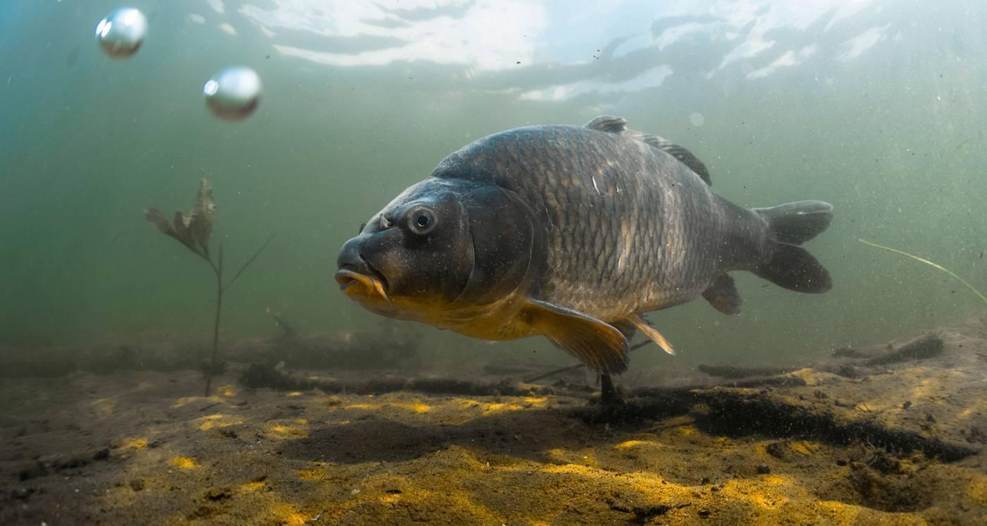 15 видов рыб семейства карповых: список и характеристика пресноводных видов, их особенности