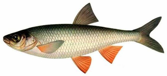 Елец: описание рыбы, где водится, на что ловить и как приготовить