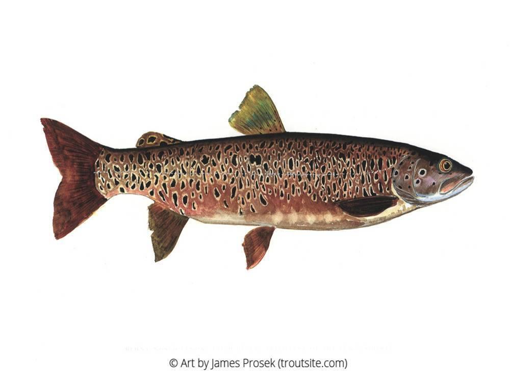 Малоизвестная пресноводная рыба ленок