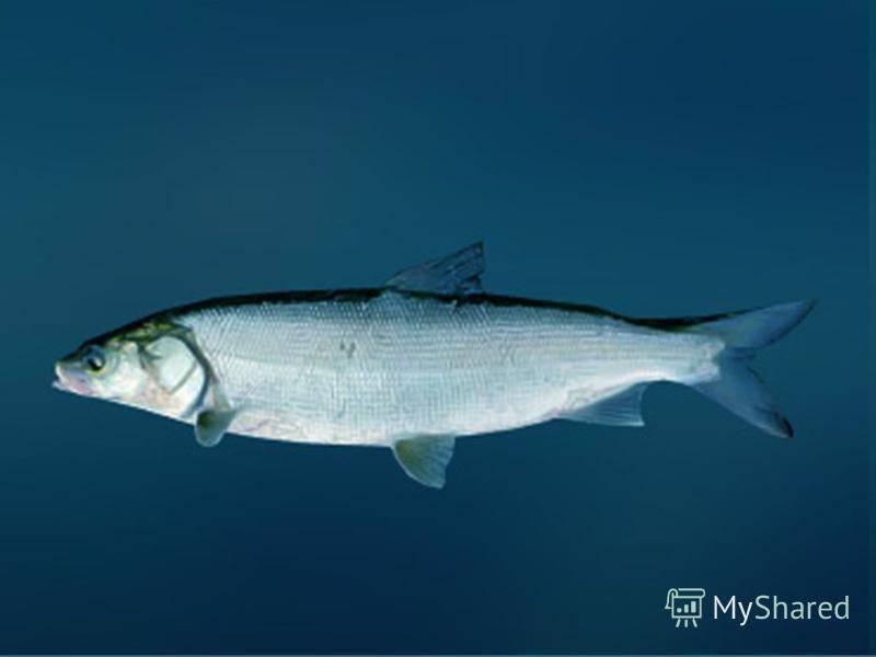 Рыба нельма - 135 фото рыбы, ловля, особенности поведения и советы по выбору снастей