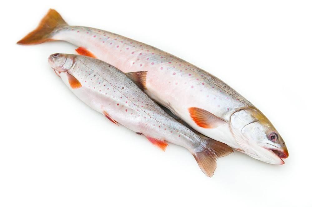 Голец: где водится эта красная рыба, польза и вред мяса, особенности выбора и приготовления