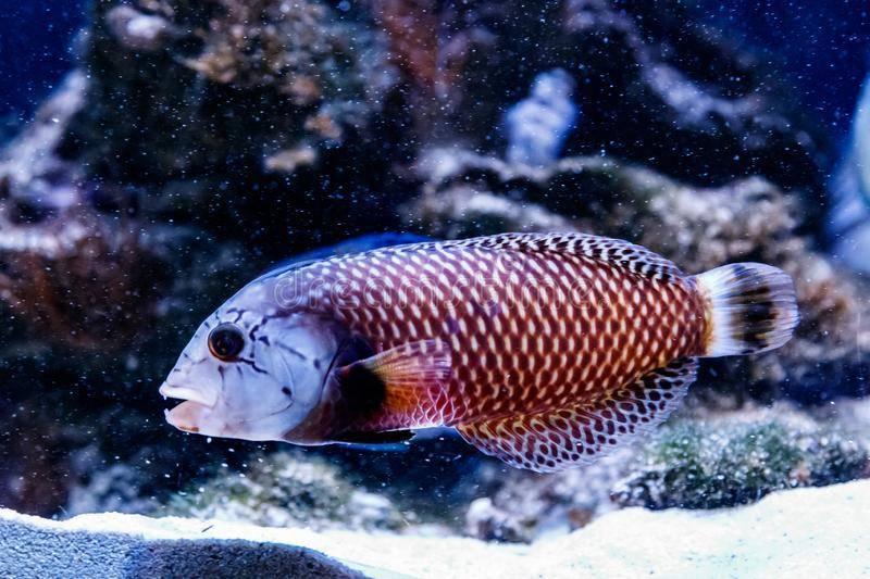 Как выглядит рыба пинагор?