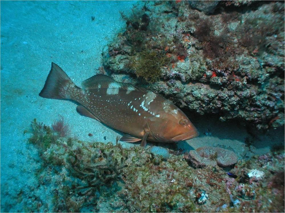 Рыба групер: фото, размеры, рецепты приготовления :: syl.ru
