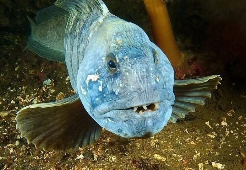 Зубатка: что за рыба, чем полезна, как приготовить, калорийность