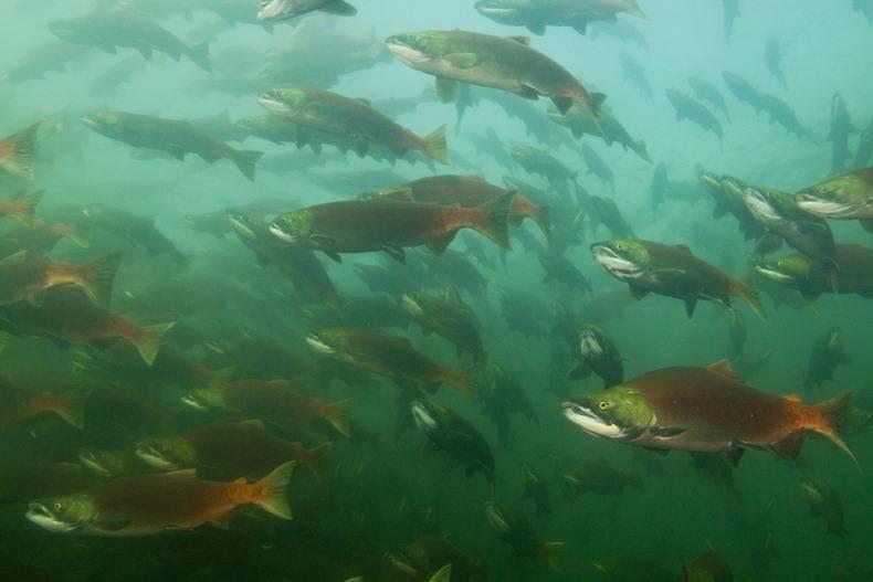 Жизненный цикл дикого лосося