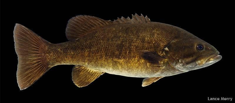 Альбула: фотографии, описание и способы рыбалки на альбулу