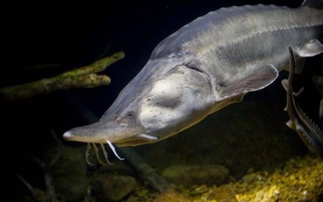 Рыба калуга фотографии