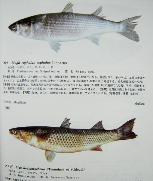 Рыба «Остронос» фото и описание