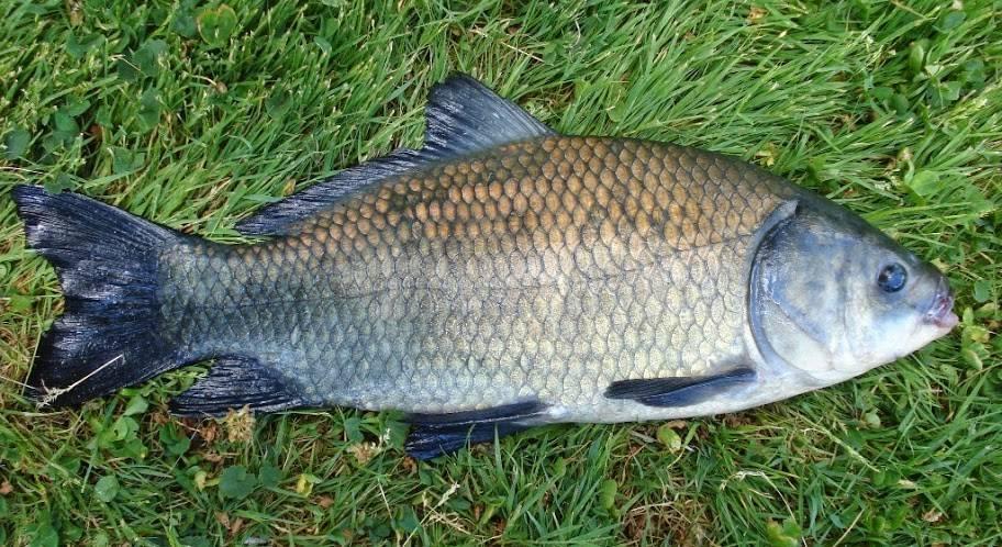 Большеротый буффало: биологические особенности и способы ловли этой рыбы