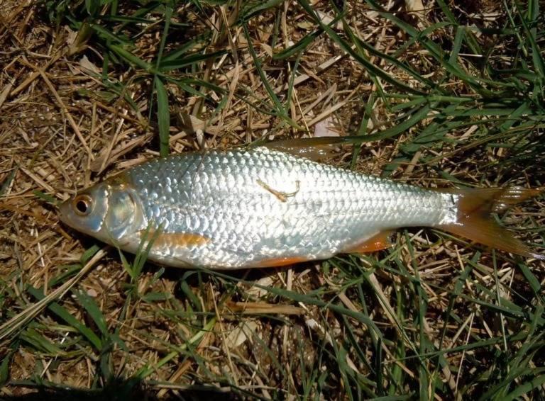 Рыба плотва (сорожка): описание, класс, питание, места обитания