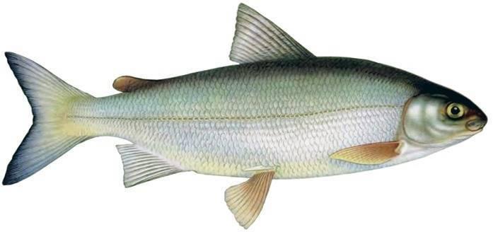Рыба сиг: фото, где обитает, как и на что ловить?