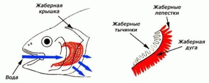 ✅ как рыбы дышат под водой? как дышат рыбы в воде. чем дышат рыбы в воде - elpaso-antibar.ru