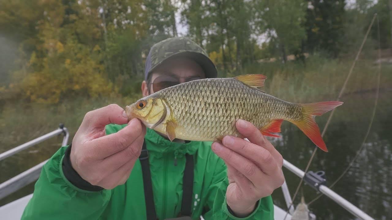 Ловля красноперки – рыбалка зимой, весной, летом и осенью + видео и фото