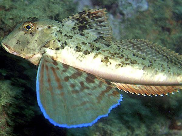 Летающая рыба тригла или морской петух