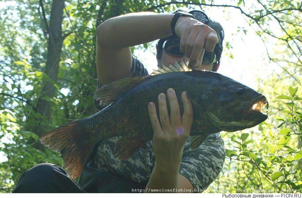Рыба сибас фото и описание. кулинарные и вкусовые качества рыбы.