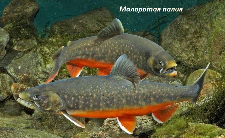 Рыба паламида-кехлен (помпано): описание рыбы, какие снасти, наживки и технику ловли использовать в её поимке