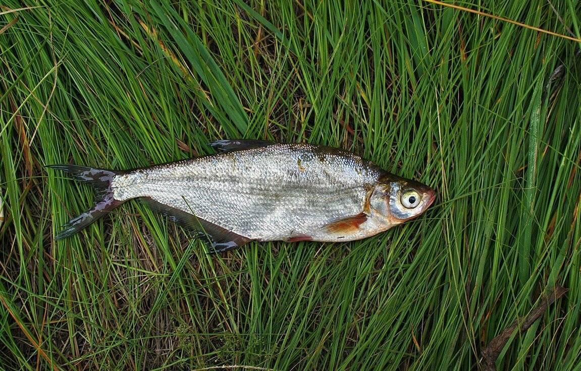 Рыба синец: описание, распространение, размножение :: syl.ru