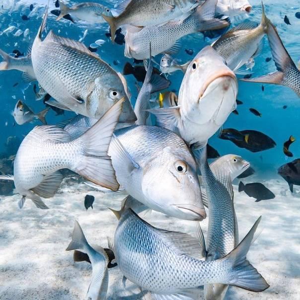 Полезнейшая рыбка кунджа станет завсегдатай на вашем столе