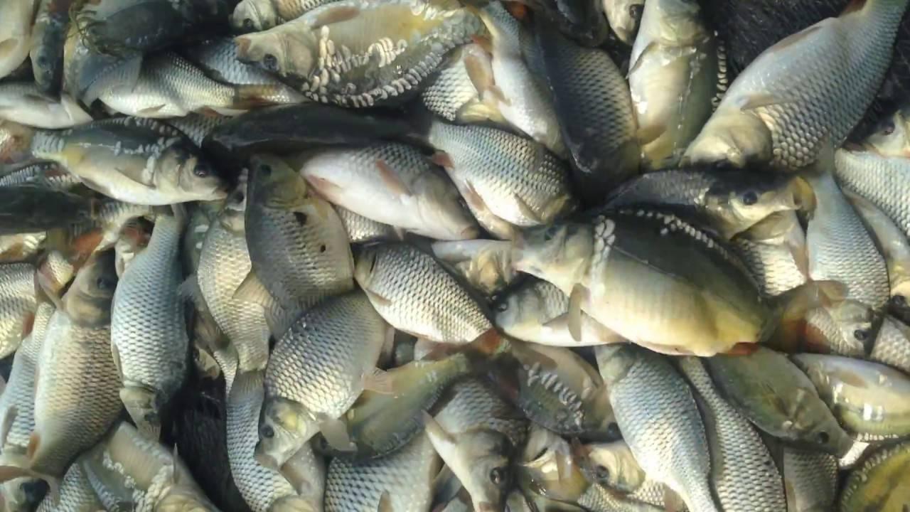 15 лучших рыб семейства карповых и их описание