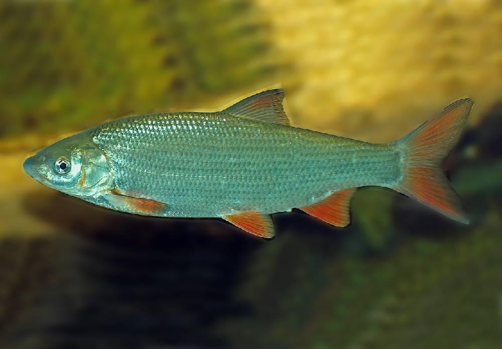 Подуст рыба фото и описание — ловись рыбка