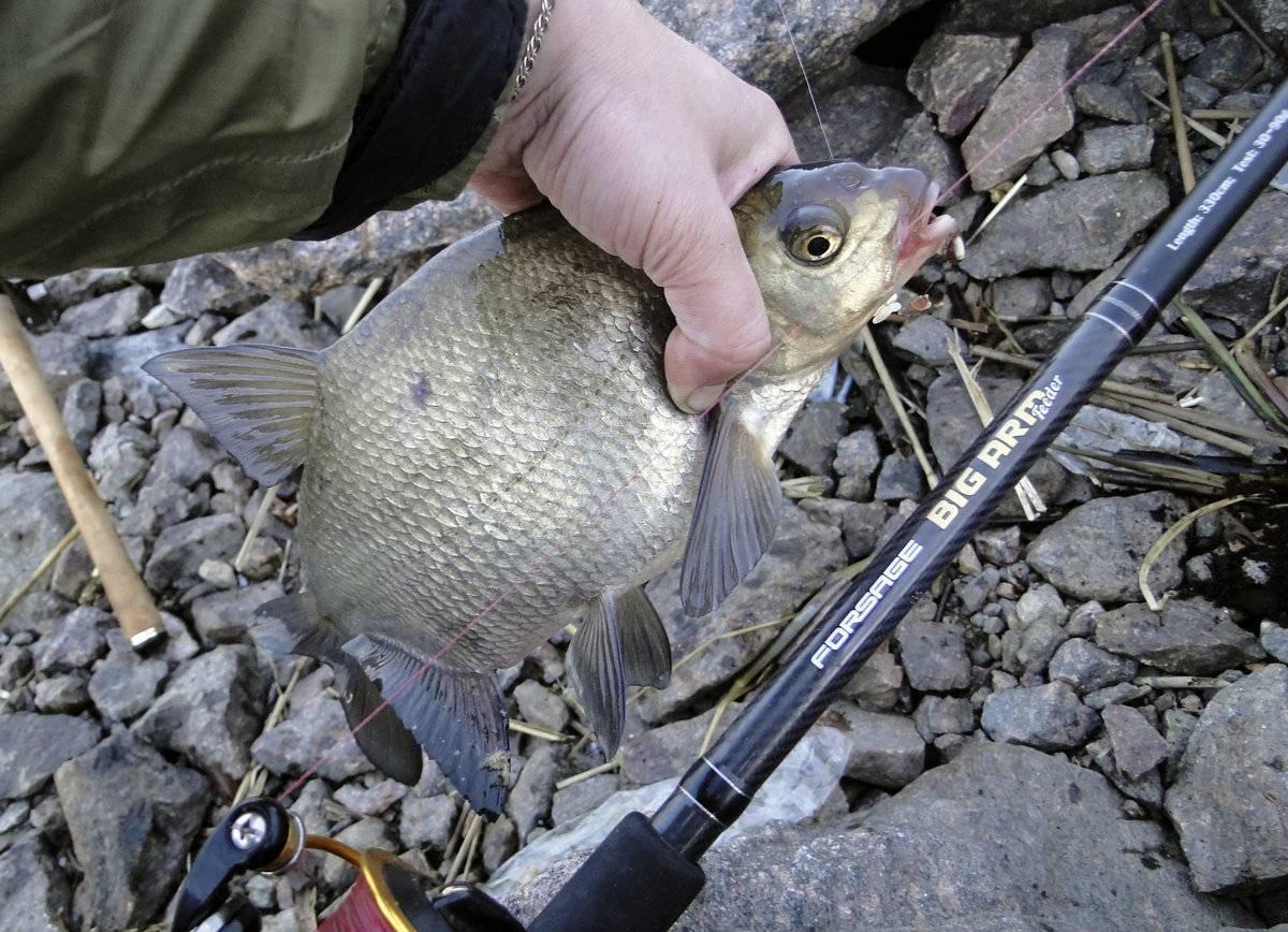 Подлещик: описание рыбы, отличия от леща и густеры, места обитания, способы ловли и гастрономическая ценность